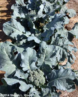 Broccoli row in East Garden