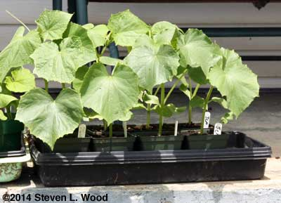 Japanese Long Pickling cucumber tranplants