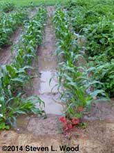 Standing water in sweet corn