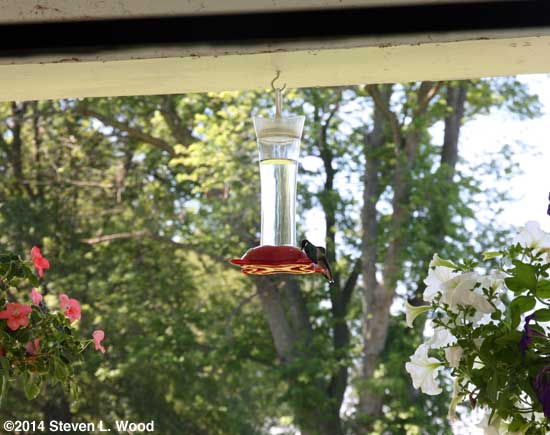 Hummingbirds photographed through kitchen window