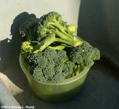 Broccoli picked