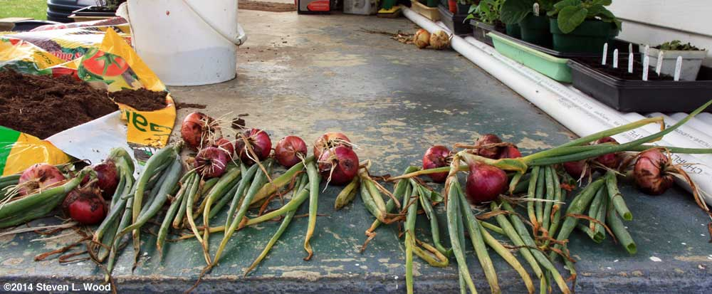 Red Creole onions drying on back porch