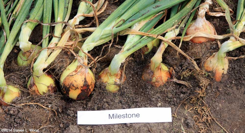 Milestone onions (July 19, 2014)