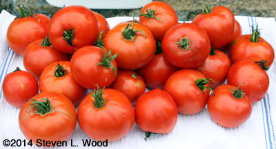 Earliroouge tomatoes