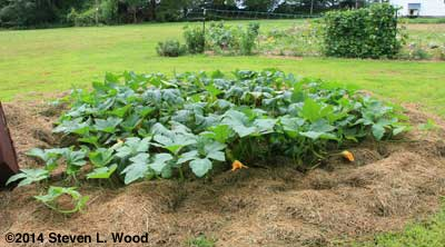 Howden pumpkin planting