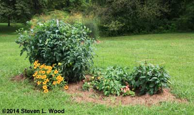 Isolated planting of tomatoes and paprika peppers