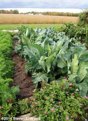 Cauliflower row