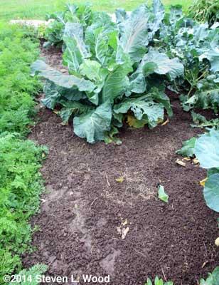 Cauliflower plant and muddy ground