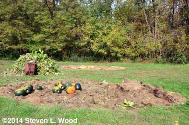 Pumpkins, compost pile and butternuts