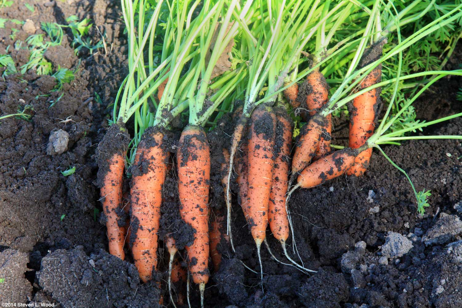 Carrots: planting and care 45