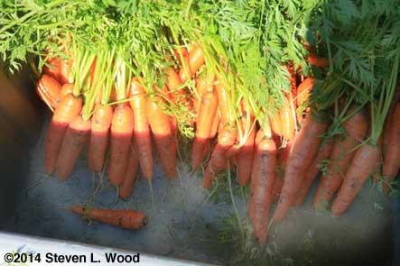 Carrots in garden cart
