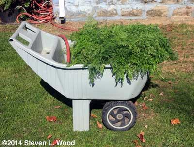 Carrots soaking in garden cart