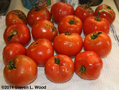 Nasty looking late tomatoes
