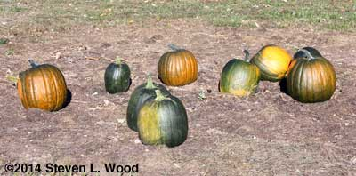 Orange-green pumpkins