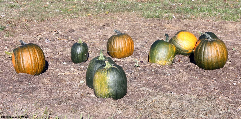 The old guys garden blog november 2014 orange green pumpkins fandeluxe Choice Image