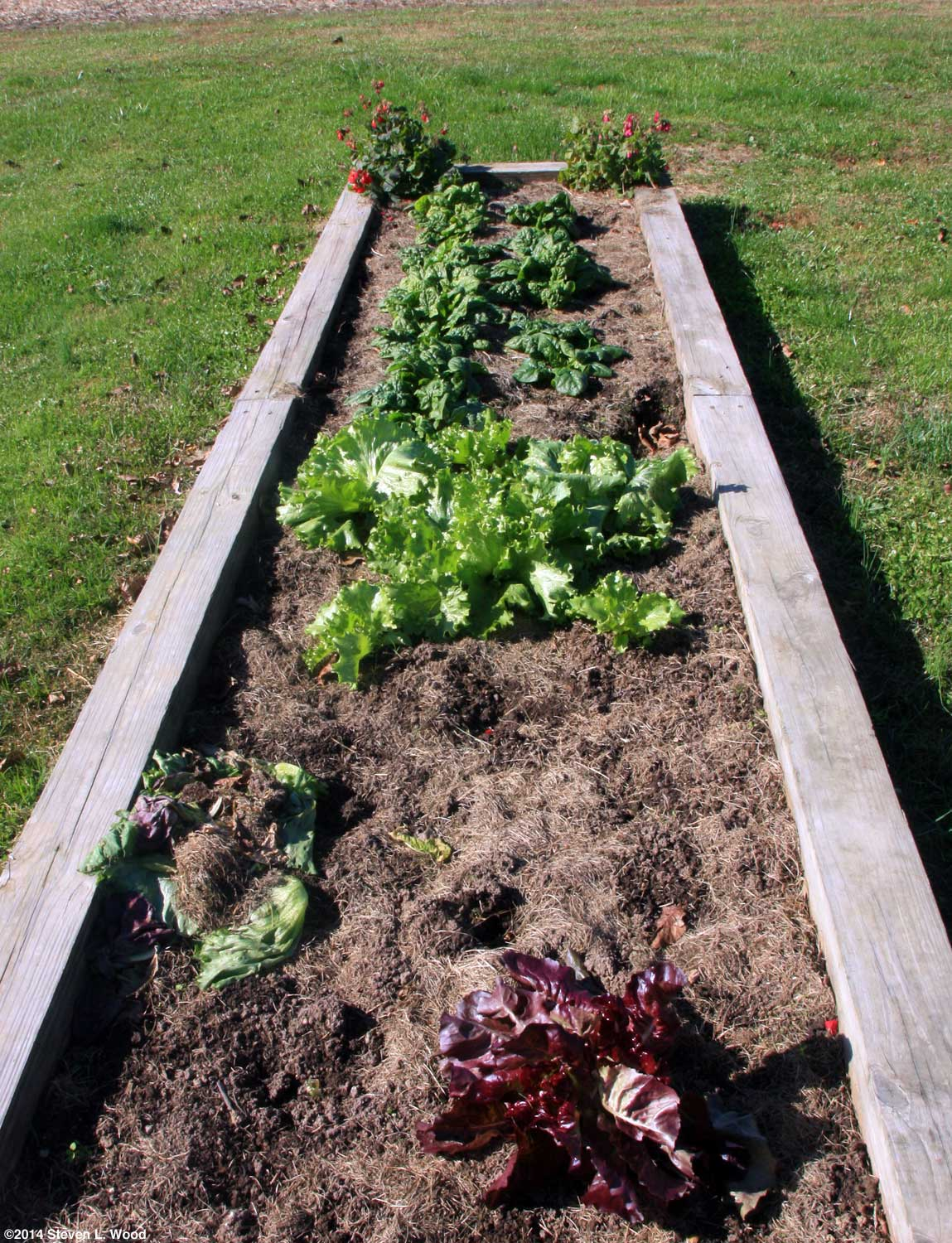 The old guys garden blog november 2014 interestingly our bed of lettuce and spinach appears fandeluxe Choice Image