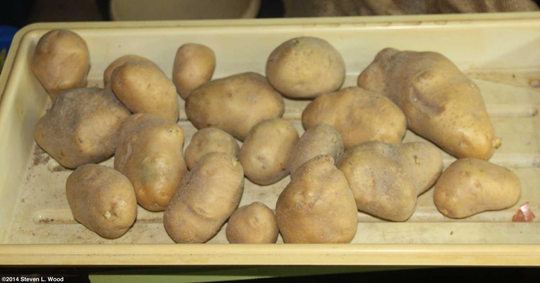 The old guys garden blog november 2014 checking kennebec potatoes fandeluxe Choice Image