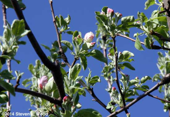 Apple blossoms in April