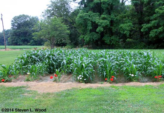 Sweet corn in late June