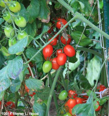 Honey Bunch Grape Tomatoes