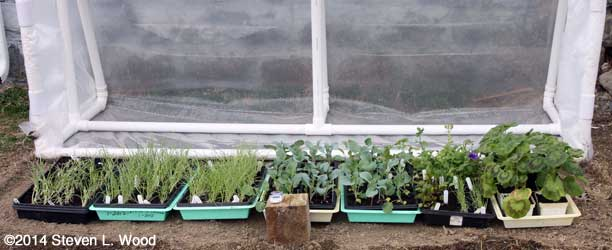 Plants under cold frame