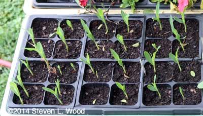 Sweet corn transplants