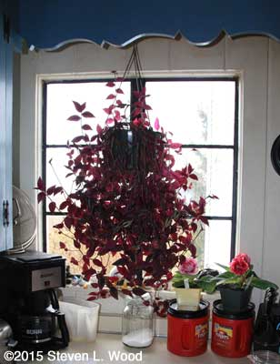 Wandering Jew plant hanging in kitchen