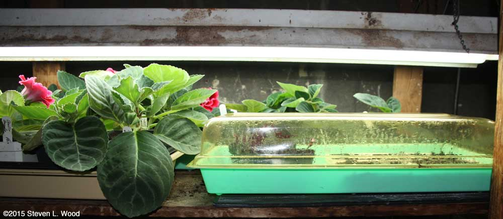 Gloxinias and covered tray of petunias, cuttings, and geranium seed