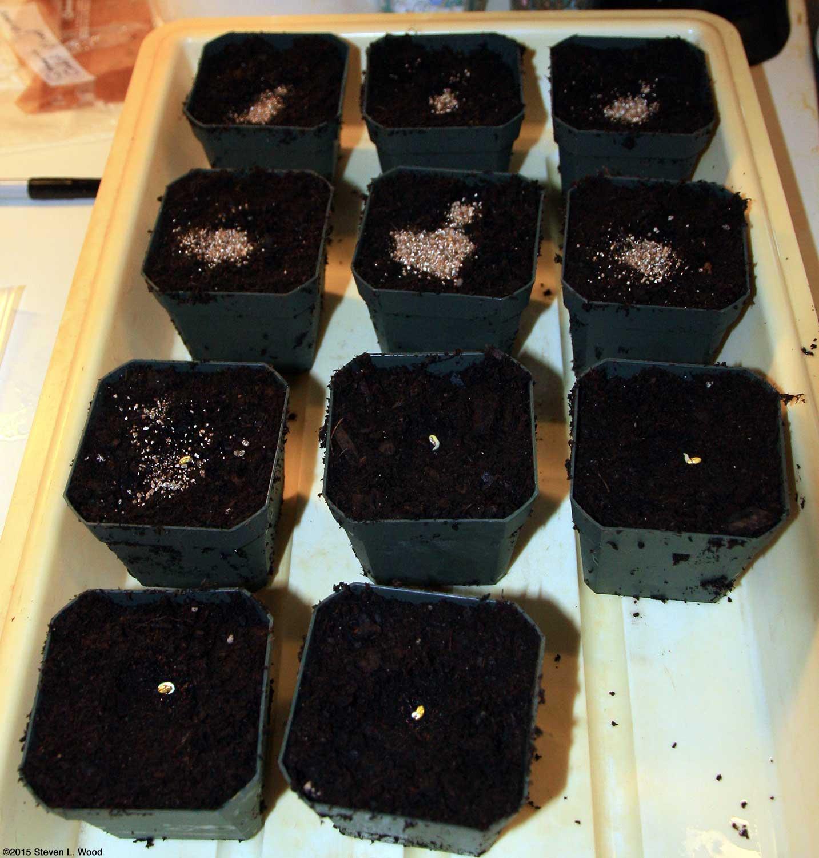 Выращивание ампельной и плющелистной пеларгонии