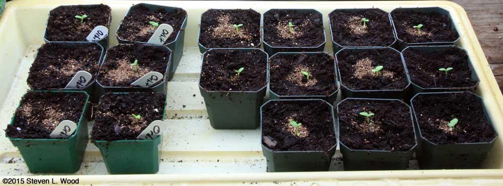 Geraniums up