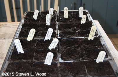 Tray of seeded brassicas
