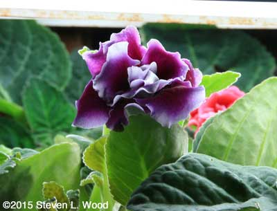 Violet Double Brocade Bloom