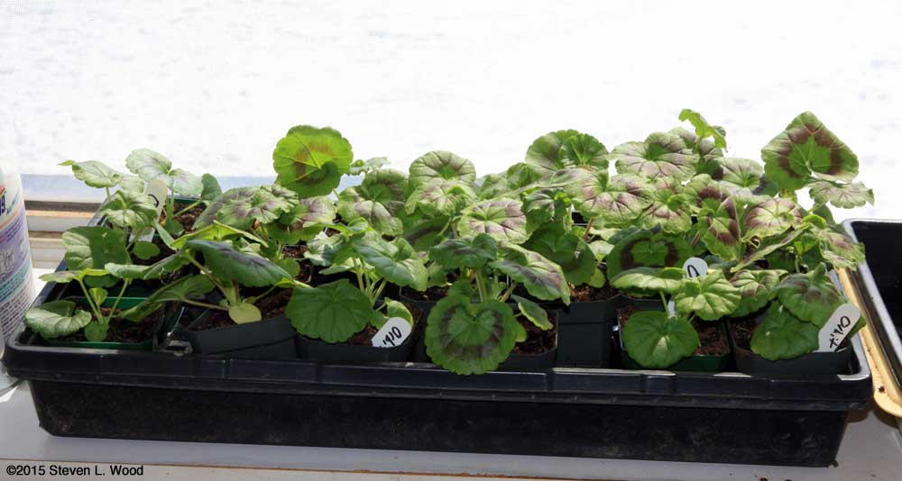 Tray of young seed geraniums
