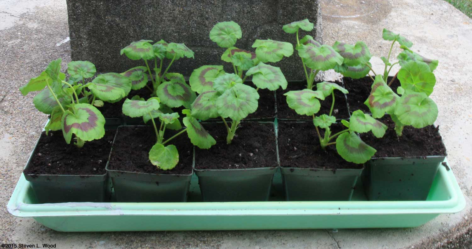 Growing geraniums from seed - How to care for ivy geranium ...