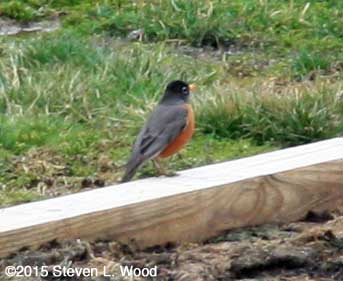 First robin sighted in 2015