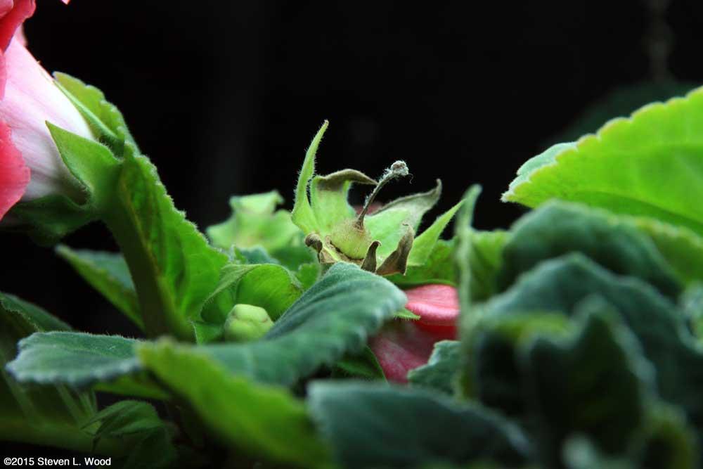Gloxinia bud maturing seed