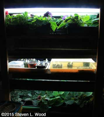 Gloxinias and garden transplants under lights