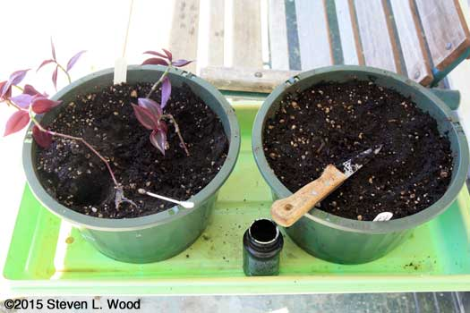 Rooting Wandering Jew cuttings in potting mix