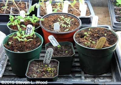 Flowers seedlings in communal pots
