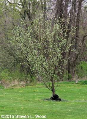 Jackson under apple tree