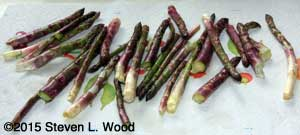Small picking of asparagus