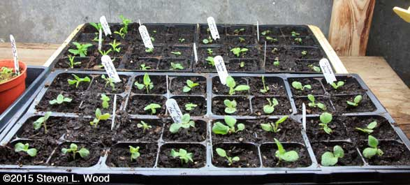 Flats of transplanted flowers