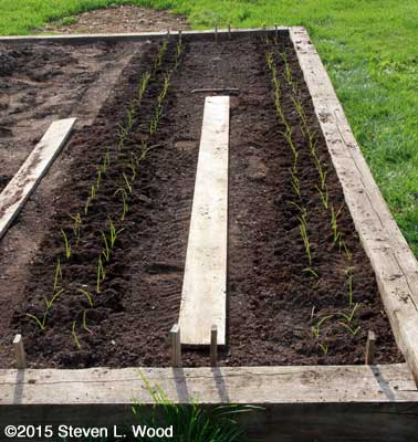 Onions transplanted and carrots direct seeded
