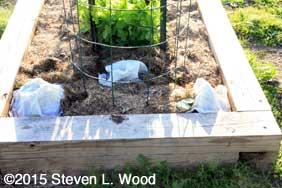 Geraniums and tomato plant under Hotkaps