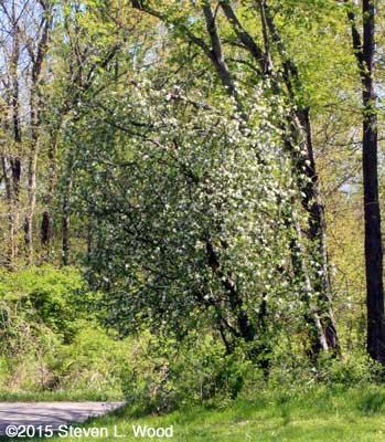 Volunteer apple tree