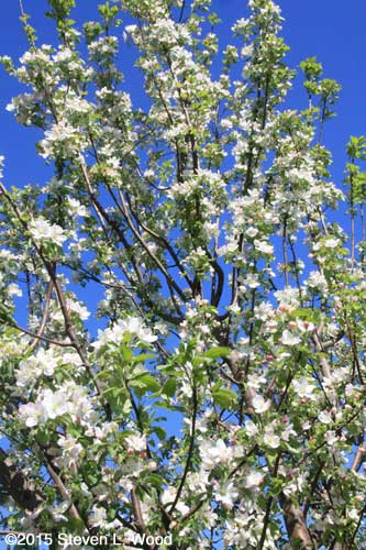Granny Smith apple tree in full bloom