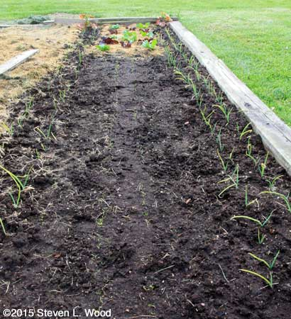 Carrots emerging