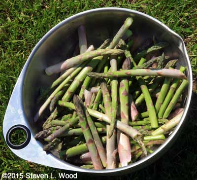 Big bowl of picked asparagus