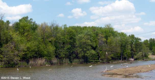 Egrets and heron at Turtle Creek Reservoir