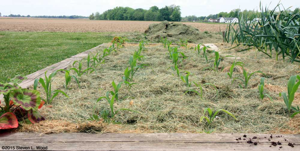 Sweet corn planted on one foot centers